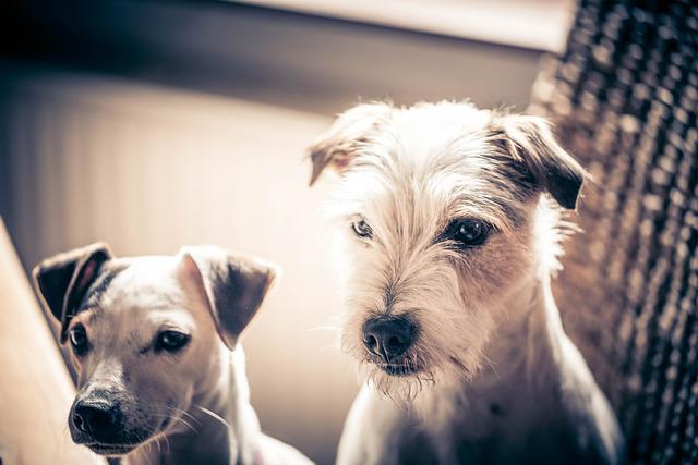 Dogs, Pets, Jack Russell Terrier, Sepia, Two