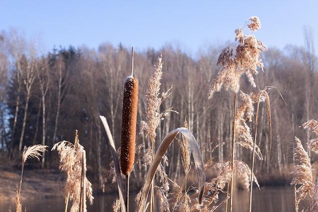 Cattail, Typha, Flying Seeds, Seeds, Kanonenputzer
