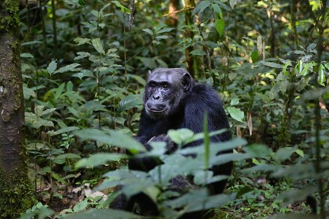 Chimpanzee, Uganda, Monkey