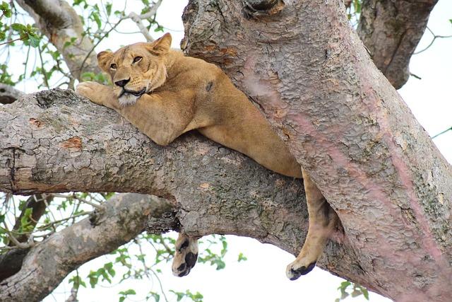 Ishasha, Lion, Tree Climbing, Uganda, Africa, Tree