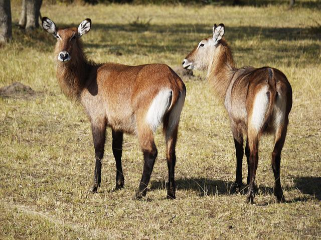 Defassa, Waterbuck, Ears, Drawing, Uganda, Animals
