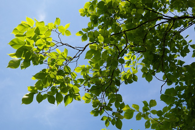 Leaves, Green, Tree, Mountain Elm, Ulmus Glabra