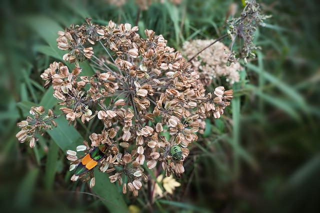 Umbel, Seeds, Autumn, Beetle, Reed
