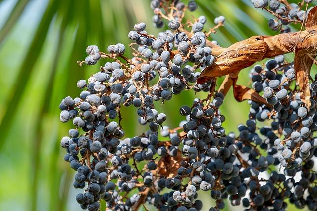 Palm, Hemp Palm, Umbrella Palm, Fruits, Blue, Edible