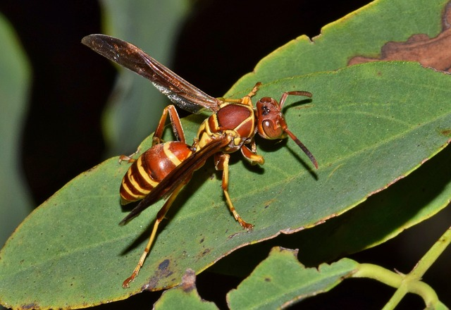 Wasp, Paper Wasp, Umbrella Wasp, Insect, Sting, Stinger