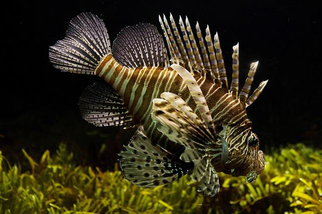 Lionfish, Aquarium, Sealife, Tropical, Underwater