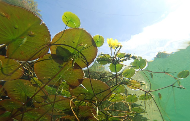 Underwater, Photography, Pond Plants, Aquatic Plants