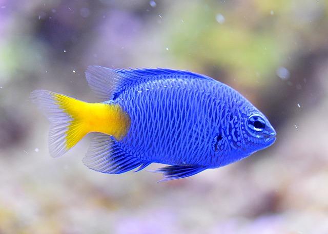 Blue Devils, Clownfish, Aquarium, Nemo, Underwater, Sea