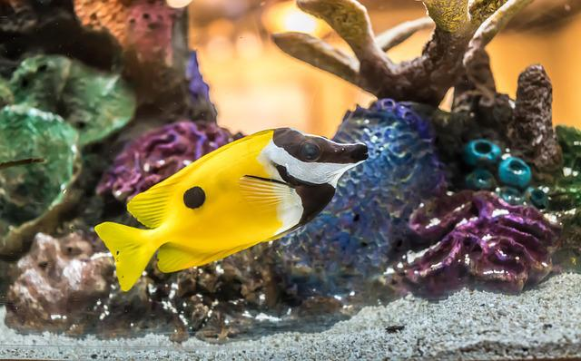 Foxface Fish, Coral, Tropical, Underwater, Exotic