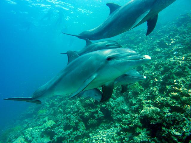 Dolphins, Marine Mammals, Diving, Underwater, Water