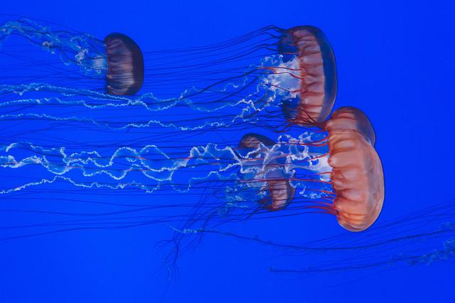 Animals, Jellyfishes, Ocean, Sea, Tentacles, Underwater