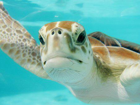 Mexico, Turtle, Swim, Underwater, Nature, Animal, Sea