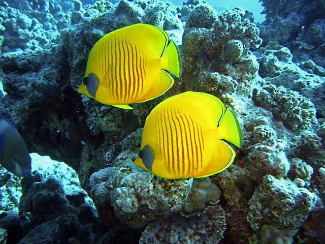 Diving, Underwater, Water, Fish, Yellow, Pair