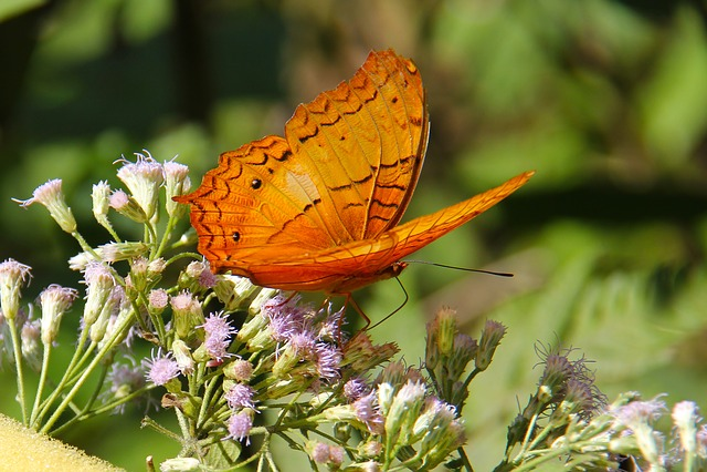 Luang Prabang, Laos, Unesco Heritage, Butterfly