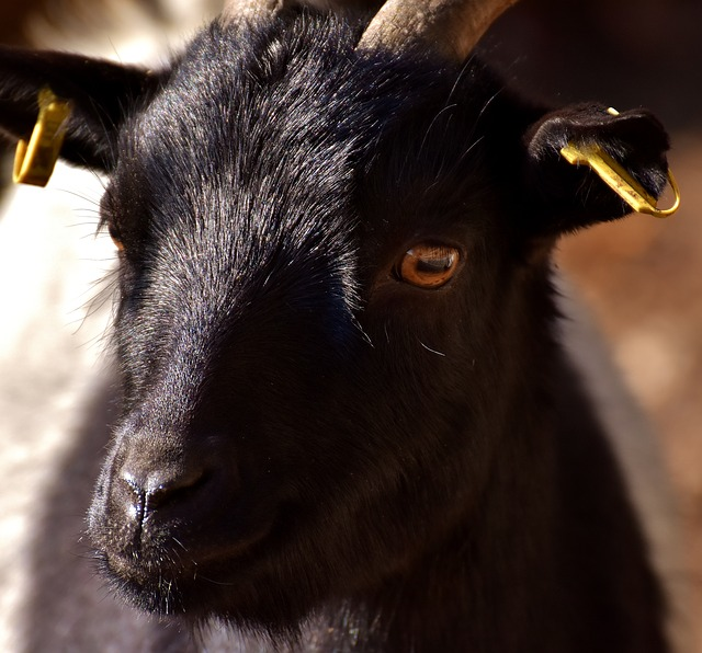 Billy Goat, Goat, Animal, Ungulate, Horns, Livestock