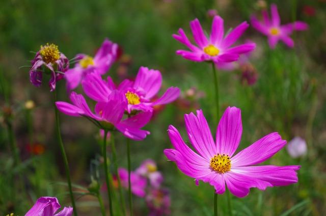 Grassland, Daisy, Purple Flowers, Universe Plant