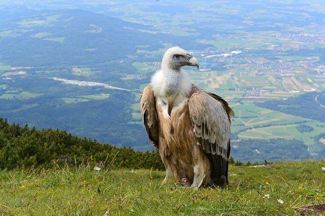 Vulture, Salzburg, Austria, Unterberg, Alpine, Mountain