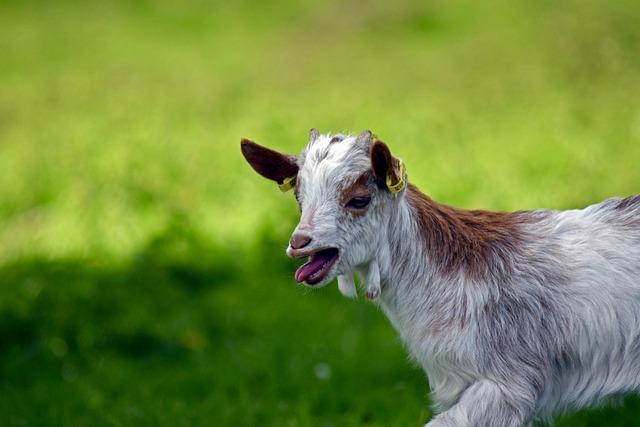 Girgentana Goat, Kid, Up, Baby Animal