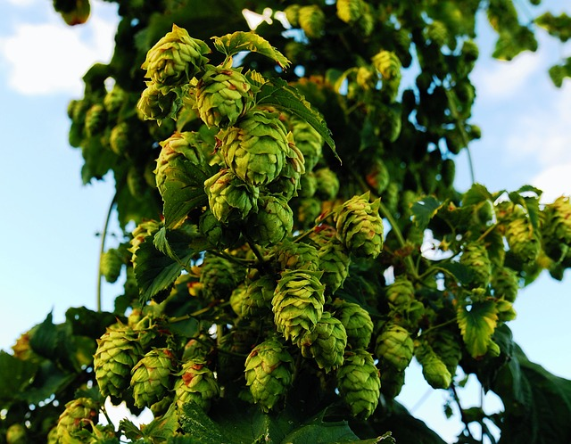 Hops, Craftbeer, Ipa, Locally Grown, Upstate Ny