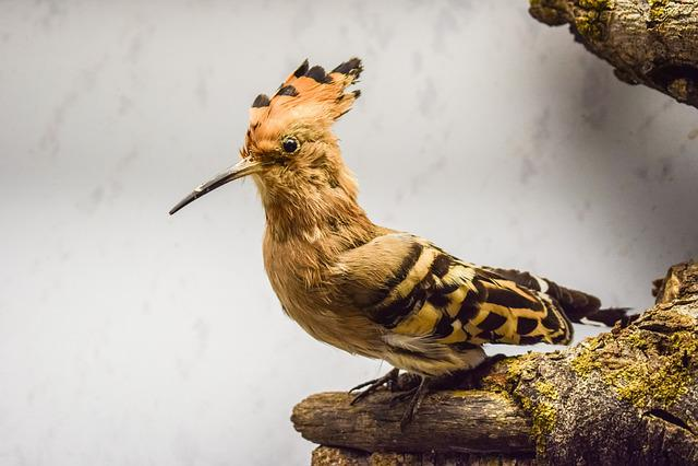 Hoopoe, Upupa Epops, Animal, Bird, Nature, Fauna