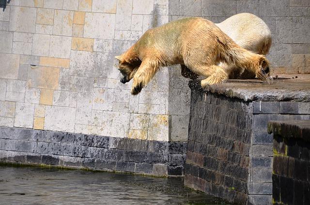 Polar Bear, Jump, Pike Jump, Water, Ursus Maritimus