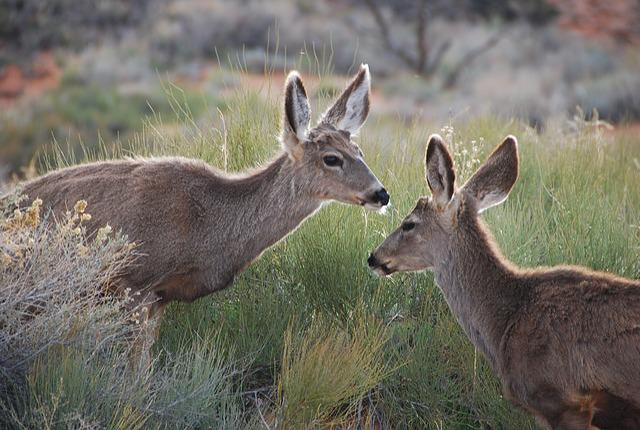 Deer, Wild, Forest, Grass, Nature, Usa, Utah, Free