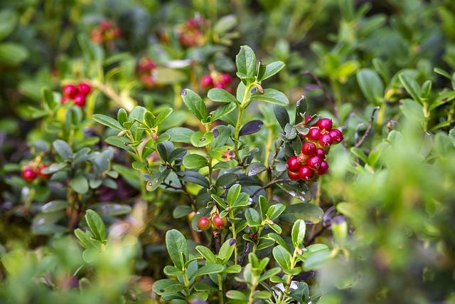 Lingonberry, Vaccinium Vitis-idaea, Food, Fresh