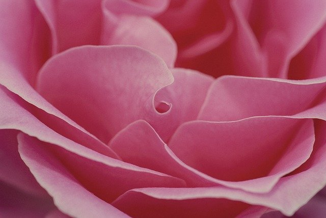 Rose, Pink, Romance, Love, Flower, Romantic, Valentine