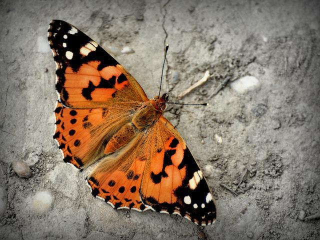 Butterfly, Admiral Butterfly, Vanessa Atalanta