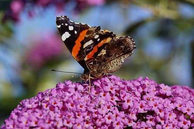 Butterfly, Admiral, Red Admiral, Vanessa Atalanta
