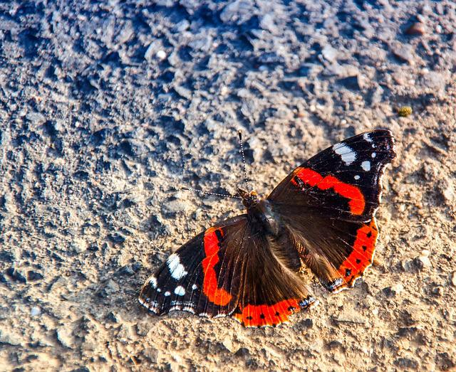 Butterfly, Admiral, Vanessa Atalanta, Nature, Insect