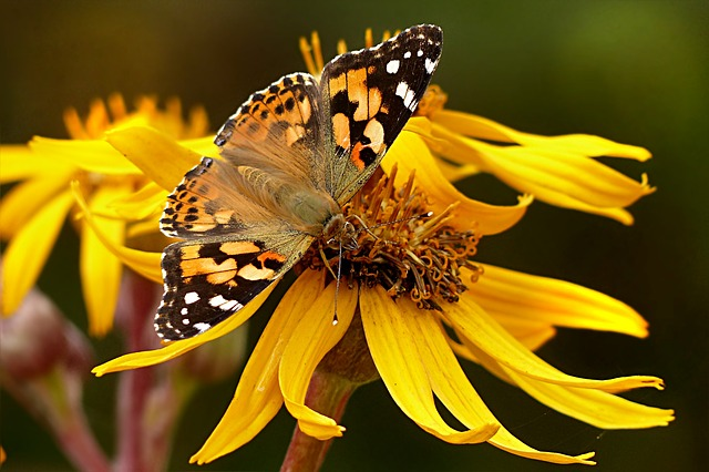 Animal, Insect, Butterfly, Painted Lady, Vanessa Cardui