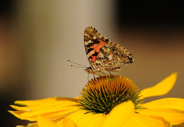 Vanessa Cardui, Butterfly, Insect, Walking Butterfly