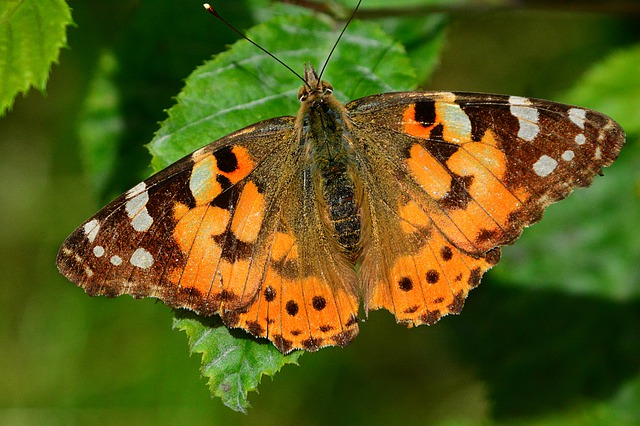 Painted Lady, Vanessa Cardui, Butterfly, Insect, Animal