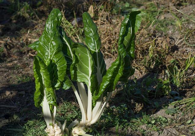 Chard, Garden, Vegetable, Harvest, Plantation