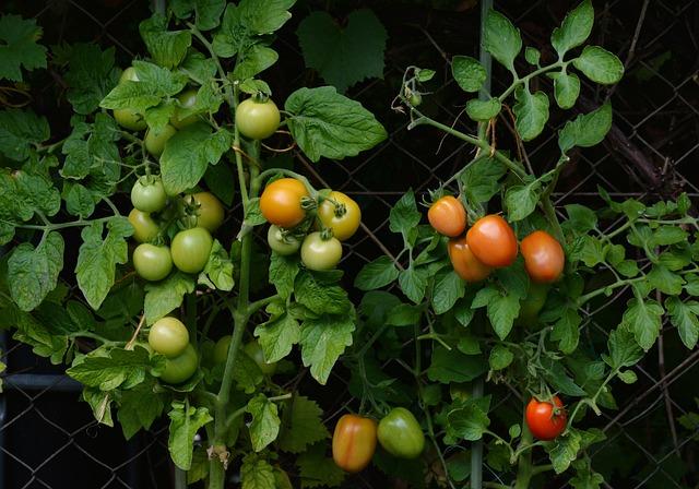 Tomatoes, Bush Tomatoes, Garden, Vegetable Growing