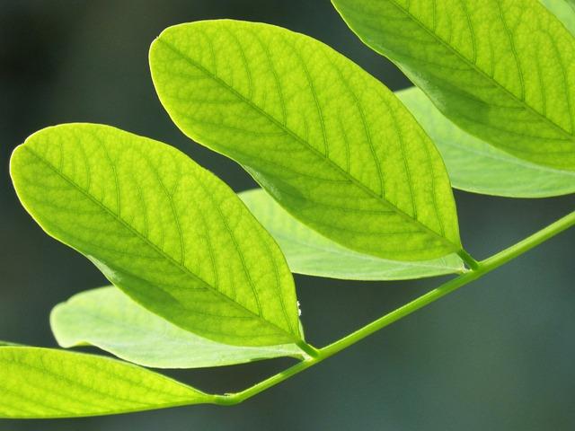 Leaves, Green, Acacia, Light, Organic, Vegetable