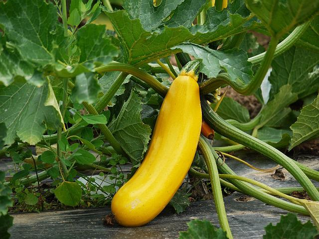 Zucchini, Yellow, Garden, Vegetables, Food, Eat