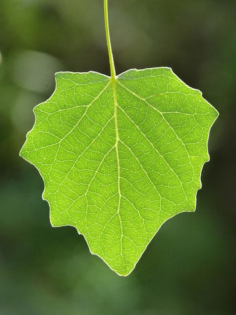 Leaf, Poplar, Translucent, Outbreak, Vegetation