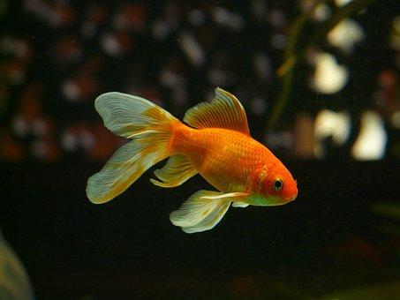 Veiltail, Fish, Goldfish, Swim, Aquarium