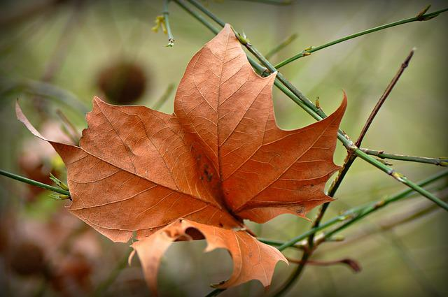 Autumn Leaf, Withered, Dry, Vein, Pattern, Twig, Season