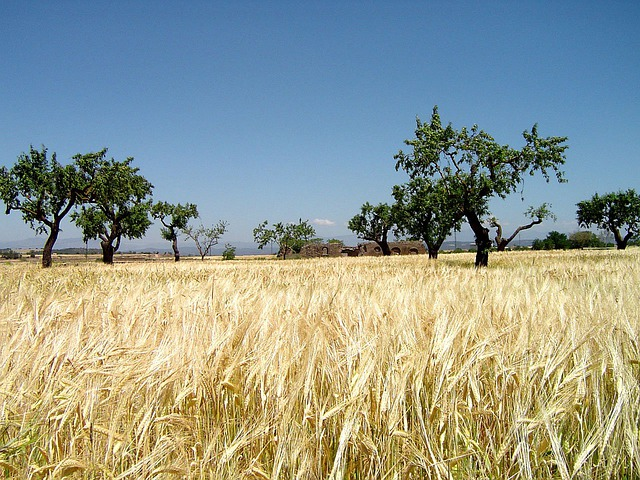Grain Field, Savannah, Veld, Field, Acacias