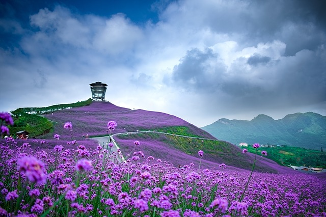 China, Guizhou, Tongzi, North Guizhou Huahai, Verbena