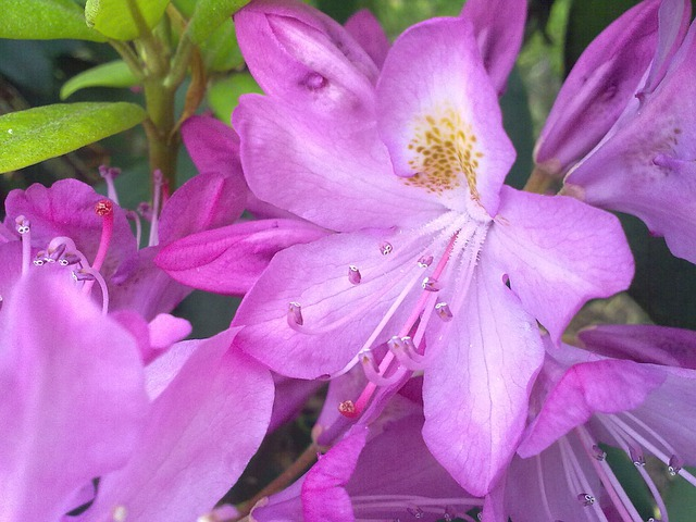 Rhododendron, Vernal, Light Pink