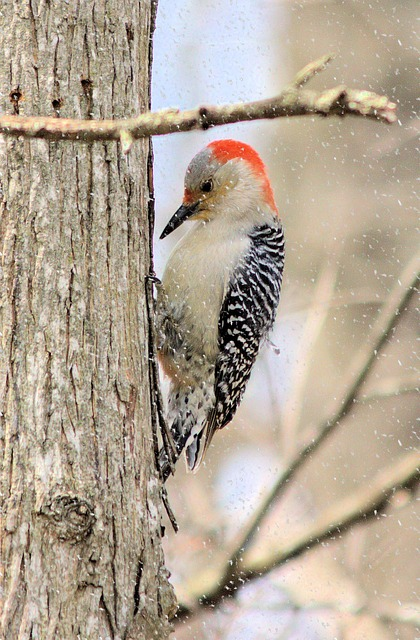 Woodpecker, Red-bellied, Snow, Tree, Vertical, Bird