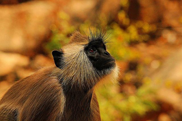 Monkey, Vervet, Vervet Monkey, Africa, Nature, Wild