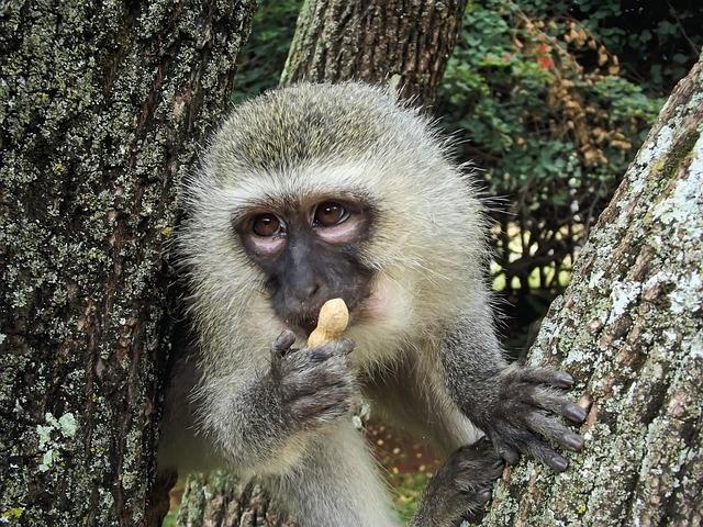 Vervet, Monkey, Vervet Monkey, Ape, Wild, Animal