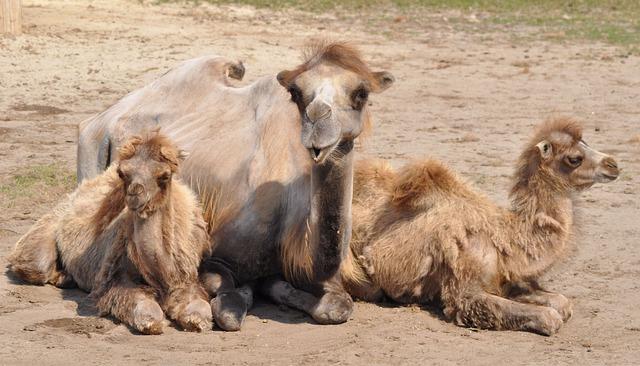 Veszprém, Hungary, Zoo, Camel