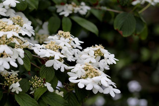 Viburnum Plicatum Watanabe, Japanese Snowball, Flowers