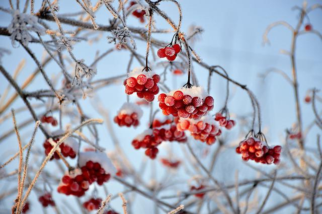 Viburnum, Red Berry, Winter, Snow, Frost